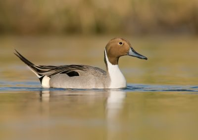 Pintail drake on green waters