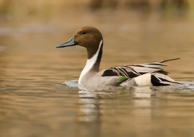 Pintail drake side profile