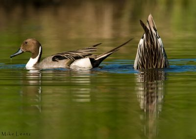 Pintail duo one tailup