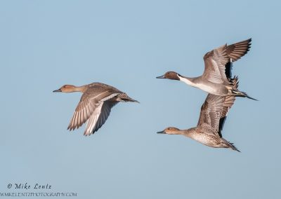Pintail group in flight