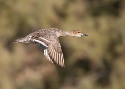 Pintail hen flies by