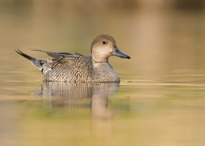 Pintail hen incoming