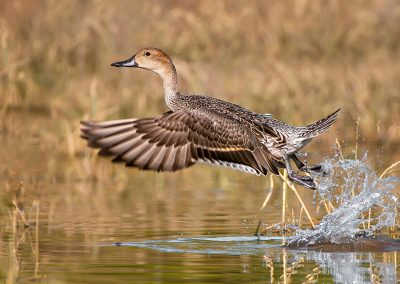 Pintail hen massive burst SLIDESHOW