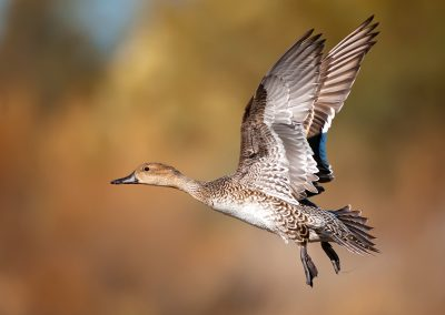 Pintail hen wings up PS