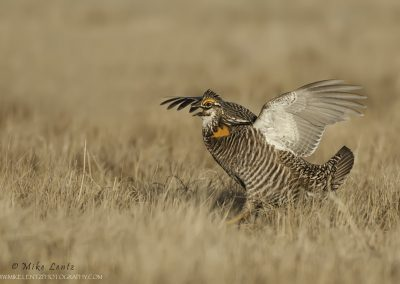 Prairie chicken aggresive stance