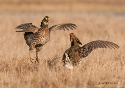 Prairie chicken battle
