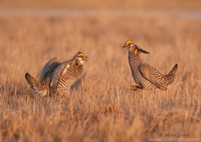 Prairie chicken jump jump