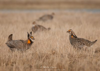 Prairie chicken life on the Lek