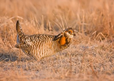 Prairie chicken on Lek SLIDESHOW