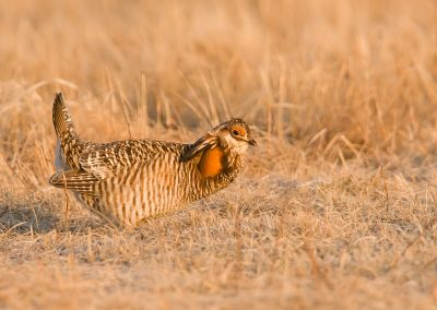 Prairie chicken on Lek golden light