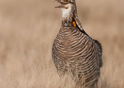 Prairie chicken verticle calling