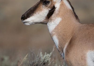 Pronghorn antelope heaed portraitPS2
