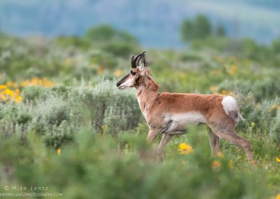 Pronghorn in sagebrushPS2