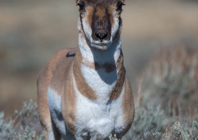 Pronghorn straight onPS2