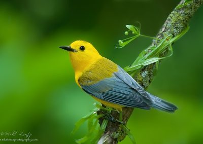 Prothonatary warbler portrait
