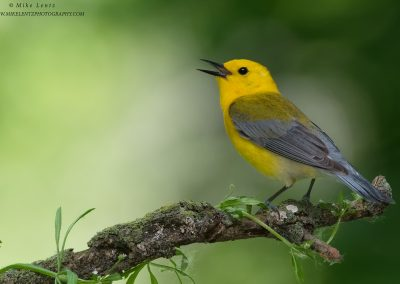 Prothonotary Warbler blasts awayPS2