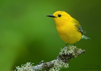 Prothonotary warbler front view PS2