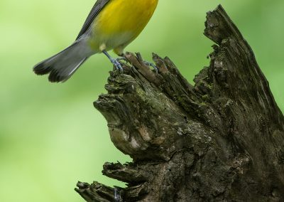 Prothonotary warbler on stumpPS2