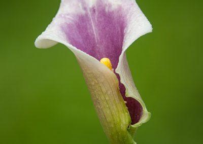 Purple and white Calla lillyPS2