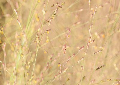 Purple field grasses