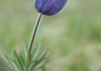 Purple flower in Bighorn mtns
