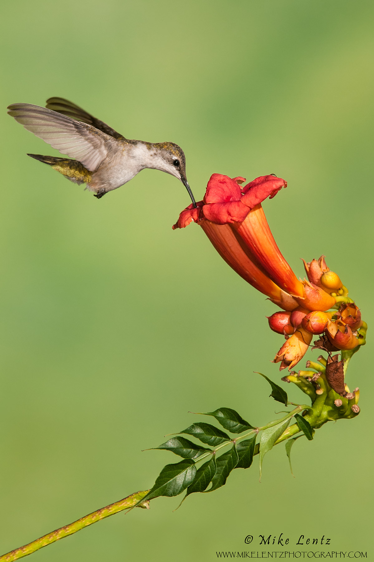 Hummingbirds Mike Lentz Nature Photography