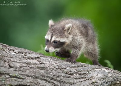 Racoon baby treks up stump