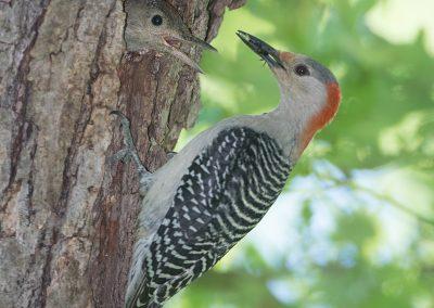 Red-Bellied Woodpecker feeds babyPS2