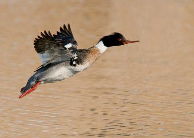 Red Breasted Merganser flight