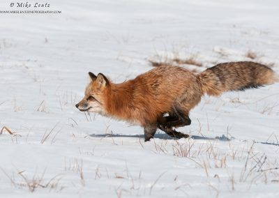 Red Fox bounds across snow and grasses