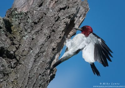 Red Headed woodpecker lands at nestPS2