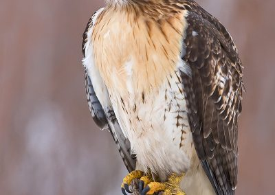 Red Tailed Hawk winter SLIDESHOW