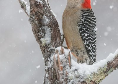 Red bellied winter peek