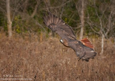 Red-tailed hawk wings up fly byPS2