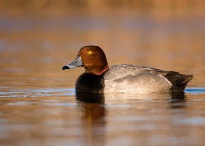 Redhead duck warm tones PS