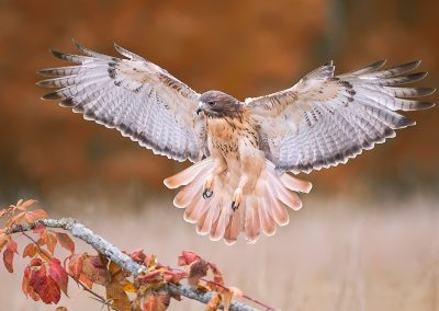 Redtailed Hawk approaches SLIDESHOW