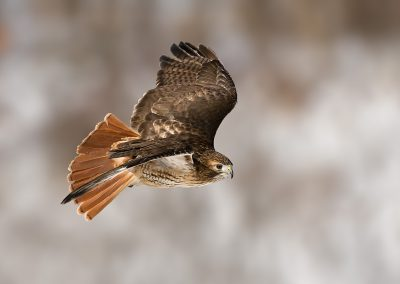Redtailed Hawk banking SLIDESHOWjpg
