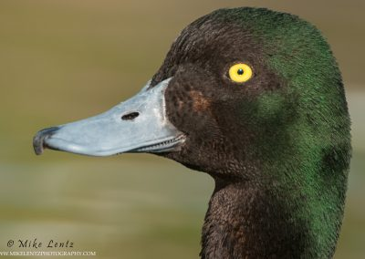 Ringneck duck head shot