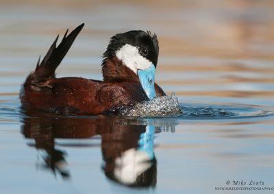 Ruddy Duck drake bubbling display