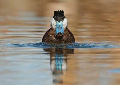 Ruddy Duck bubbling
