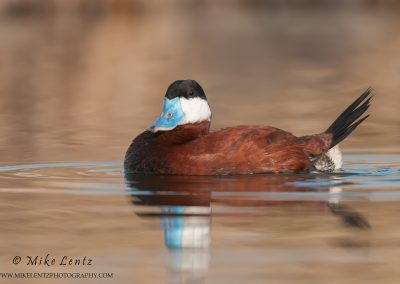 Ruddy Duck on the golden drink