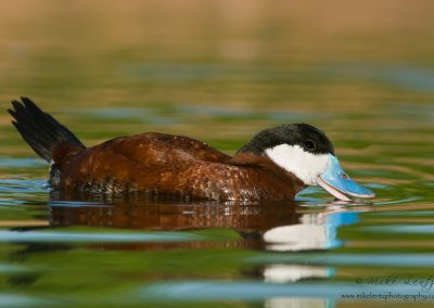 Ruddy duck beautiful