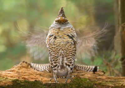 Ruffed Grouse painterly PS