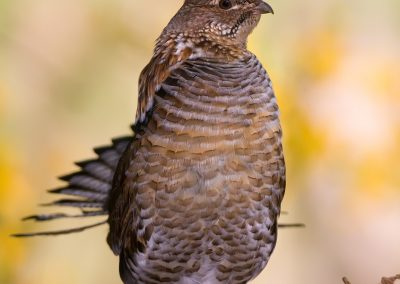 Ruffed Grouse verticle yellow BG