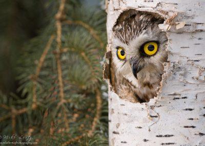 Saw Whet Owl right peek