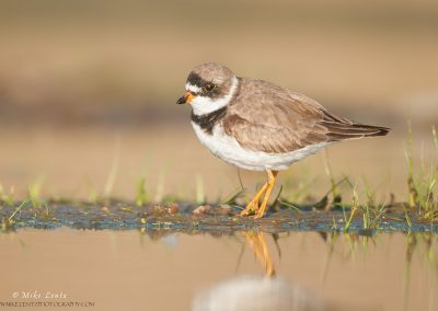 Semipalmated Plover on strip og growth