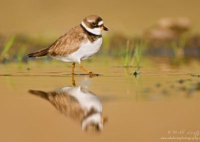 Semipalmated Plover struts