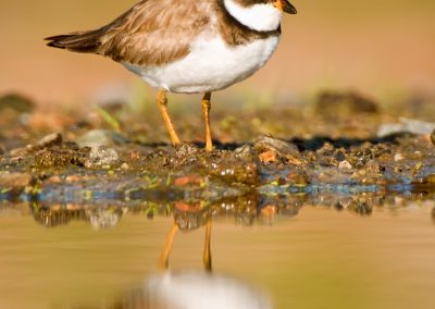 Semipalmated Plover verticle