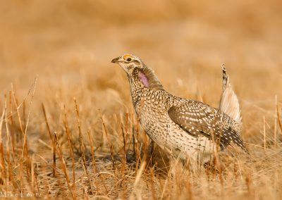 Sharp Tailed grouse on golden Lek