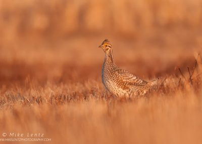 Sharp tailed grouse female near LekPS2